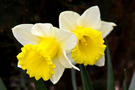 narcissist: White narcissus on grass in a garden