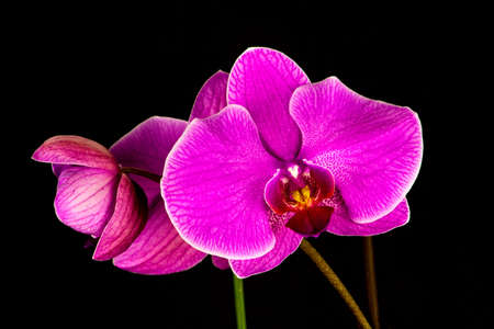 A sprig of hot pink orchids against a deep black background. photo