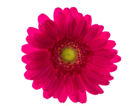 Red gerbera flower on white background, top view photo