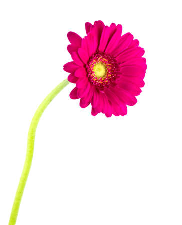 Isolated photo of a pink Gerber daisy Stock Photo - 13089325