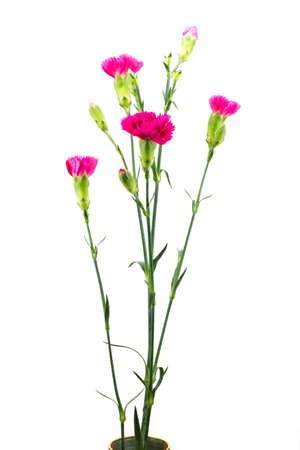 Three Red Carnations, Isolated on White Stock Photo - 14049088
