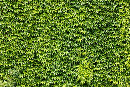 Carpet of grape leaves Stock Photo - 14049120