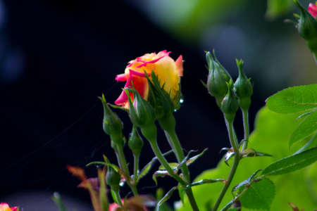 Close up shot of a pink rose with water droplets photo