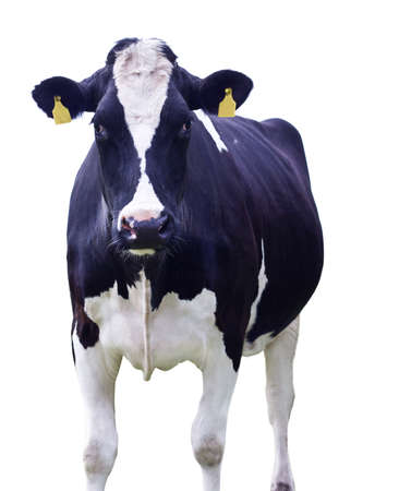 dairy cow: Cow in front of a white background,Isolated Stock Photo