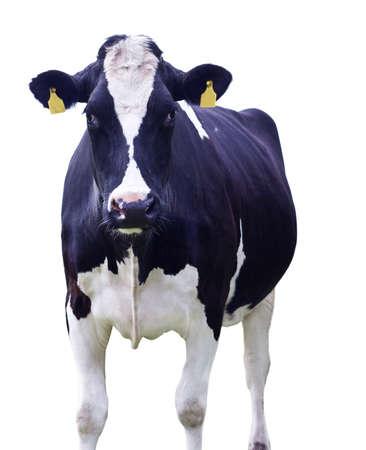vacas lecheras: Vaca delante de un fondo blanco, aislado