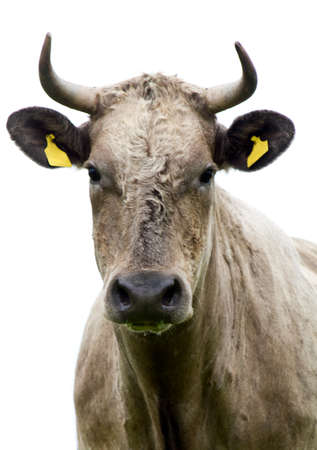 Cow in front of a white background photo