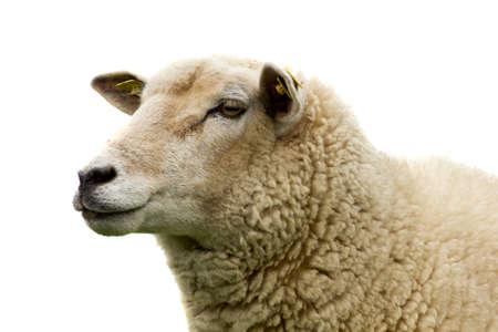 pecora: Ritratto di pecora su uno sfondo bianco