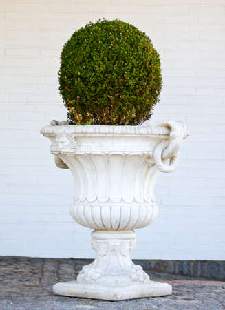 boxwood: Boxwood in a wite pot