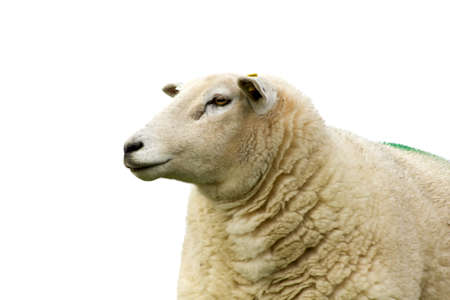 Sheep in front of a white background Stock Photo - 16398758