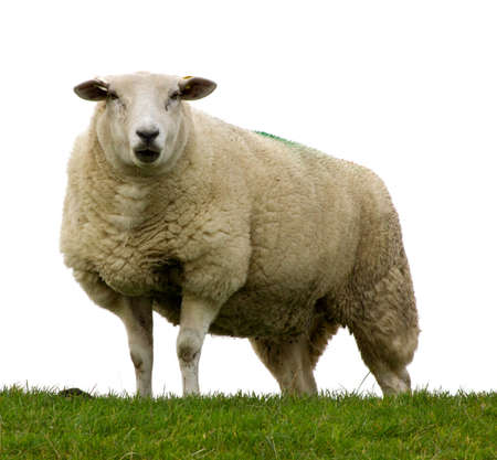 Close up of a single sheep walking in closer and looking down at the camera Stock Photo - 16477867