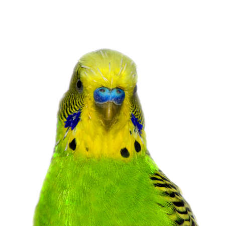 budgie: Beautiful little green pied budgie, parakeet face,on white