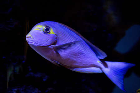 blue parrotfish  photo