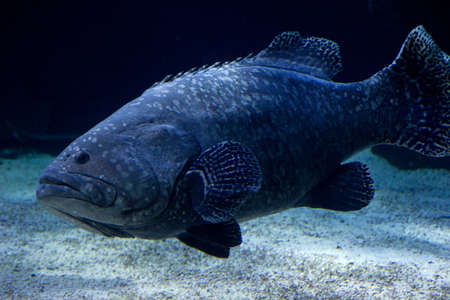 freshwater barracuda: fish in the aquarium Germany Westerland