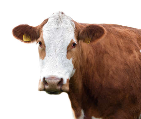closeup cow face: Cow isolated on white background