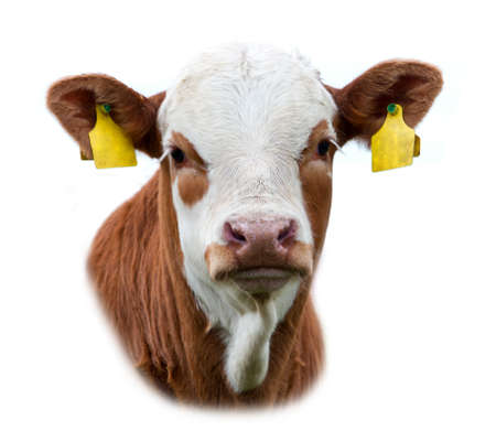 calf on a white background photo