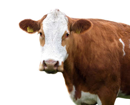 kine: brown white freckled cow isolated on white background  Stock Photo