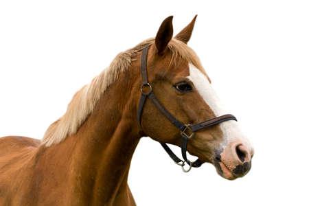 paardenhoofd: paard geà ¯ soleerd op een witte achtergrond Stockfoto