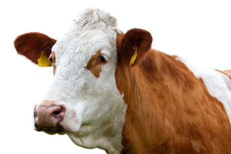 red cow looks into camera, isolated over white