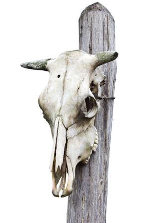 craneo de vaca: Vaca Calavera Blanca
