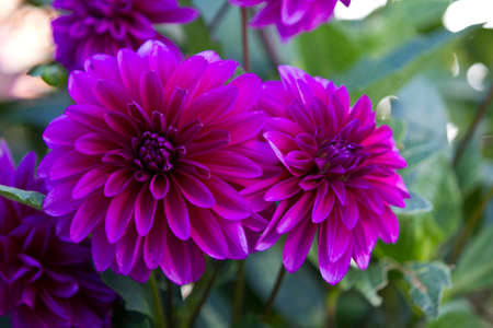 Colorful dahlia flower photo