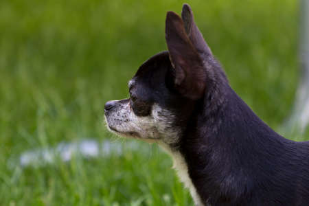 Chihuahua standing on the lawn. photo