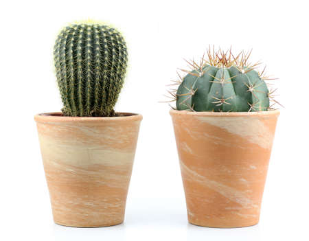 potted plant cactus: two cactus on a white background