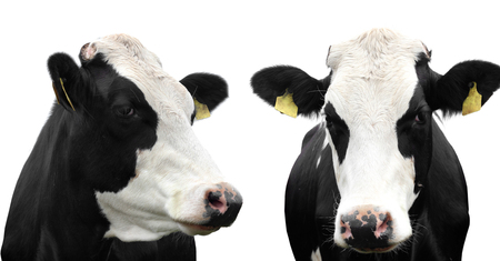 cow head: Two  cows isolated Stock Photo