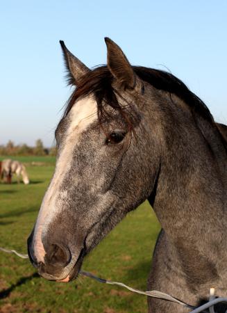 shire horse: Portrait of beautiful gray shire horse