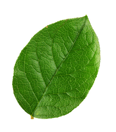 batch of euro: fresh green leaf on a white background Stock Photo