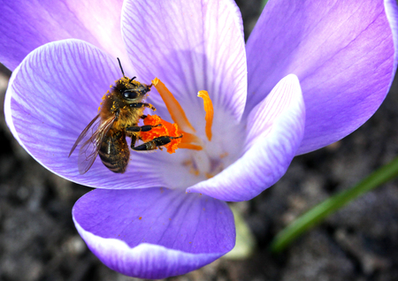 mellifera: European honey bee( Apis mellifera) on crocus flower