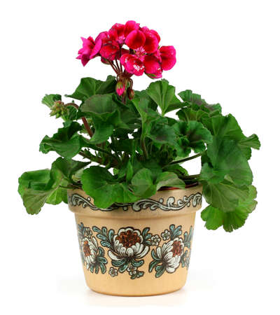 Red geranium flower in a clay pot isolated on white background photo