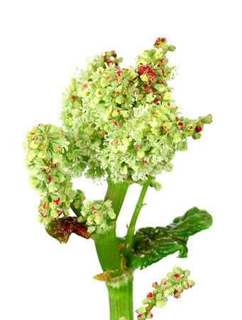 rheum: rhubarb stem with blossom on isolated white background