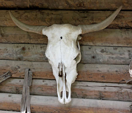heads old building facade: White Cow Skull on a wooden wall Stock Photo