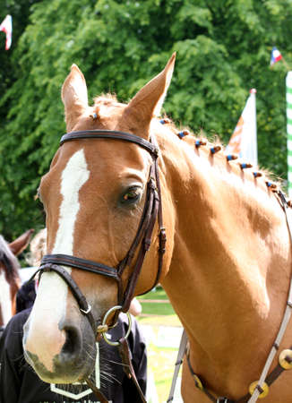 trakehner: portrait of beautiful sportive horse outdoor sunny morning