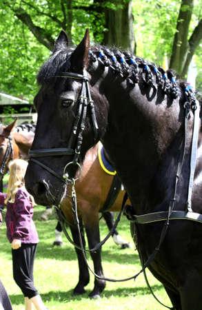 trakehner: portrait of beautiful black horse. sportive, animal.