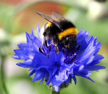 bumblebee: bumblebee on cornflowers  flower fields,  summer meadow!