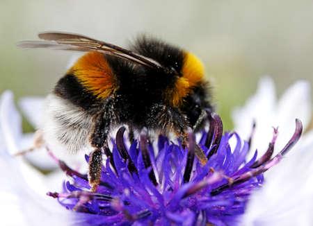 garden cornflowers: bumblebee on cornflowers in the garden. flora Stock Photo