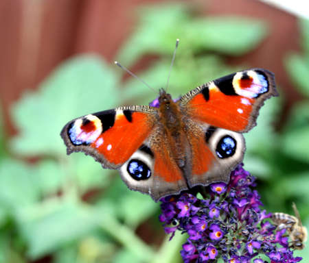 nymphalis: Europen Peacock butterfly sitting on violet Bellflowers