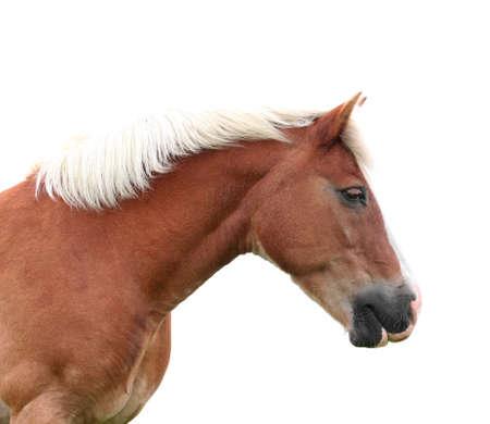 buckskin horse: Norwegian Fjord Horse isolated Stock Photo