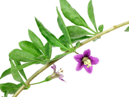 lycium: flower and leaves goji. isolated Stock Photo