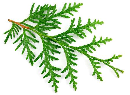 arborvitae: Arborvitae leaves on a white background