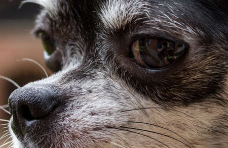 nostril: Nose of dog, my lovely chihuahua