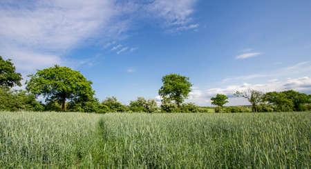 secale: field of rye, blue sky Stock Photo