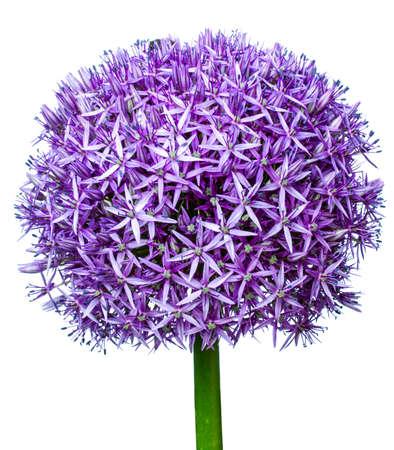 leek: giant leek, Allium giganteum Stock Photo