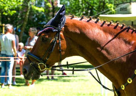thoroughbred: Portrait of a thoroughbred chestnut stallion
