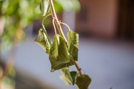 rotting: Dying and rotting leaf of apple tree Stock Photo