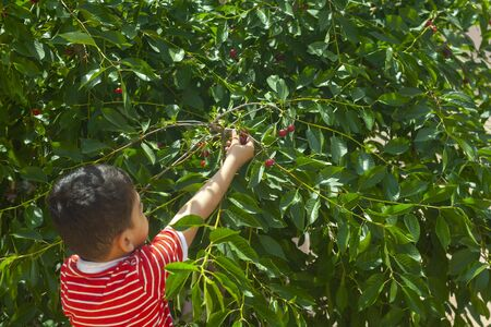 Little kid picking cherries in the garden. 6-year old middle eastern boy picking raw cherry fruit. Family having fun at harvest time. 写真素材