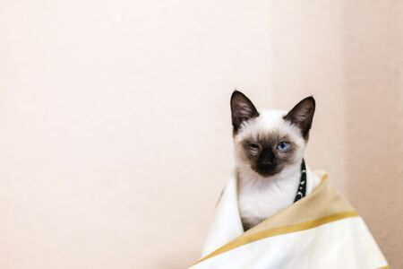 Portrait of beautiful Siamese cat. Cute siamese kitten posing, making funny faces. Copy space