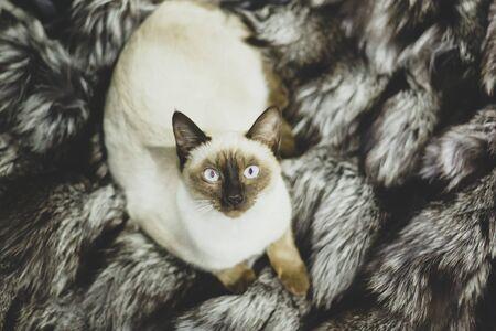 Portrait of beautiful Siamese cat. Cute siamese kitten posing, making funny faces