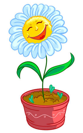 chamomile flower: Chamomile in pot